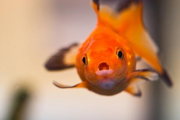 SurprisedGoldFish